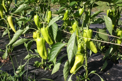 Sweet yellow peppers coloring up.