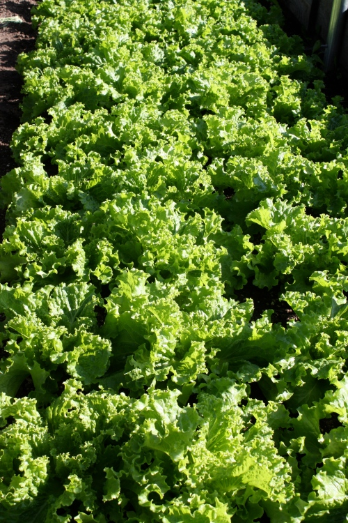 Lettuce at harvest.
