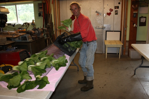 Pac Choi washing.