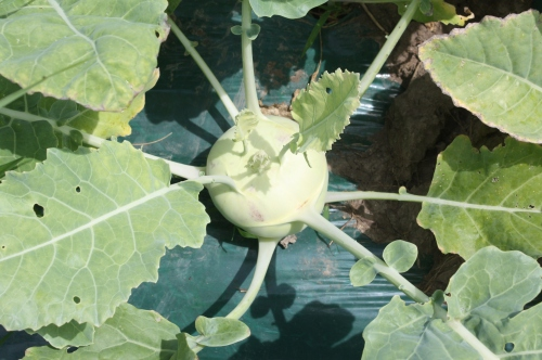 Next week's kohlrabi.