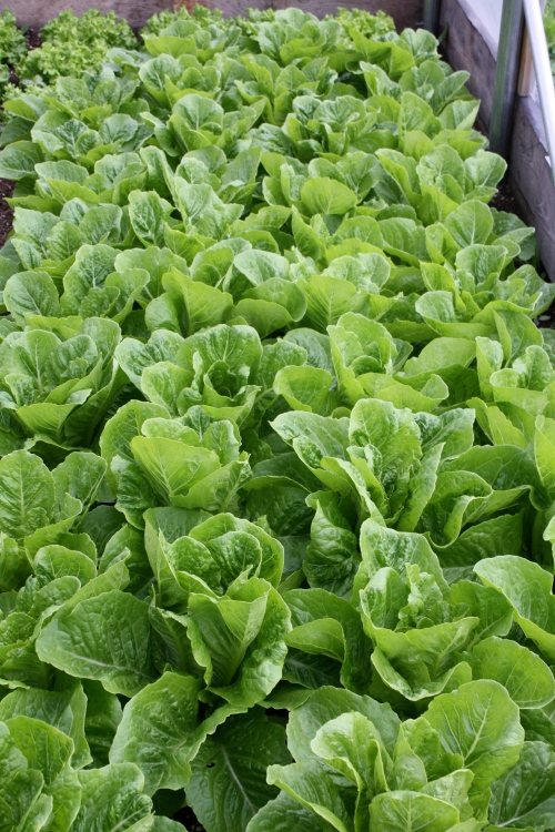This week's lettuce harvest in the hoop house.