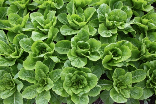 Close up of lettuce at harvest.