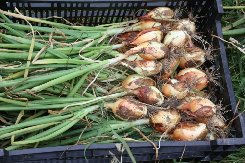Onions in the field at harvest.