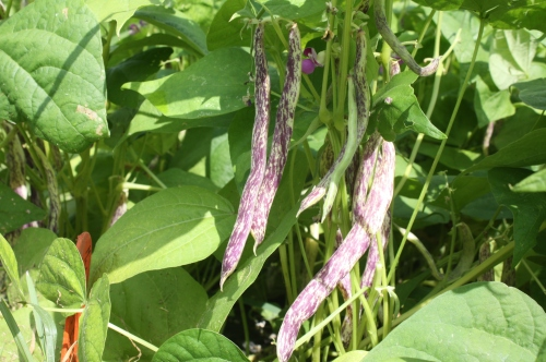 Dragon Tongue Beans on the bush.