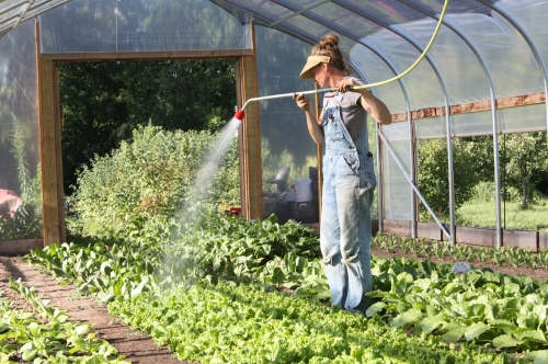 A second watering in the hoop house at noon.