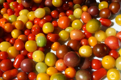 This weeks cherry tomato harvest after washing.