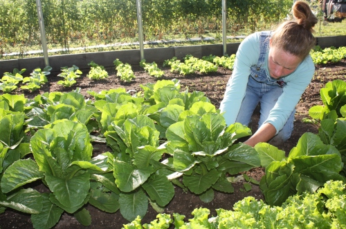 Harvesting lettuce in the hoop house.