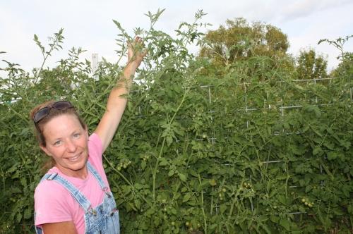 Tall charry tomato vines on the trellis.