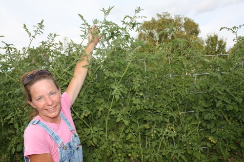 Tall charry tomato vines on the trellis.
