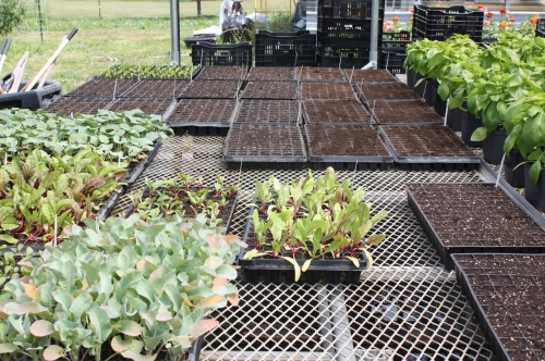 Fall plantings germinatiing in the greenhouse.