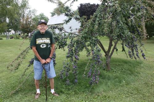 Dick Pfaff with his plum tree.