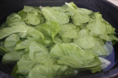 Romaine in the wash tank.
