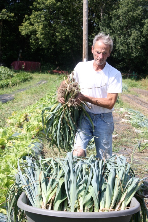 Scott harvesting the late summer leeks.