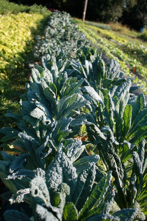 The Kale row at harvest.
