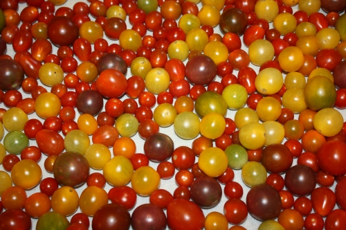 Cherry tomatoes all washed up for this week's shares.