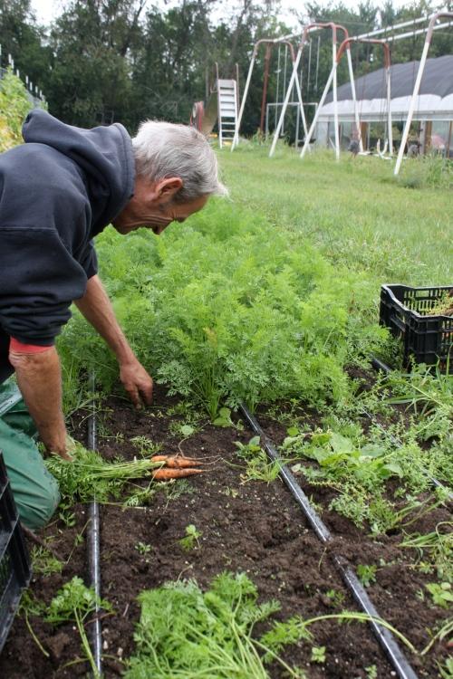 Scott pulling the carrots.