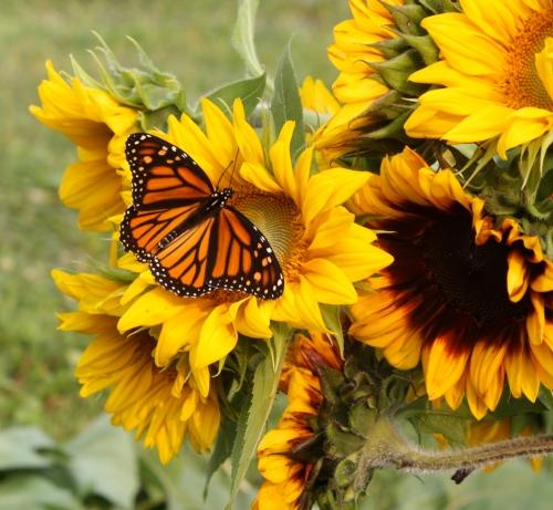 Sunflowers at harvest.