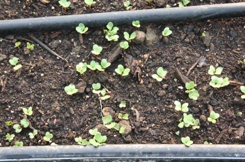 Radishes germinating in the garden.