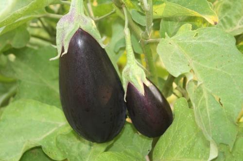 Eggplant at harvest.