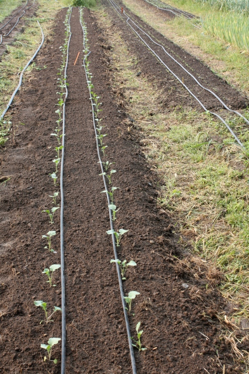 Long rows of late broccoli.