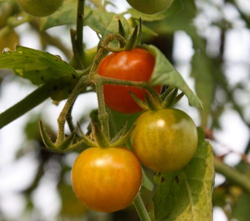 Cherry tomatoes on the vine....