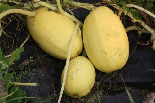 Spaghetti Squash at harvest.
