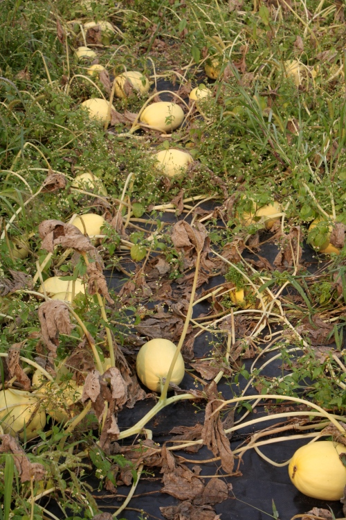 Spaghetti Squash in the field at harvest.