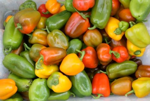 Mini sweet pepper harvest.