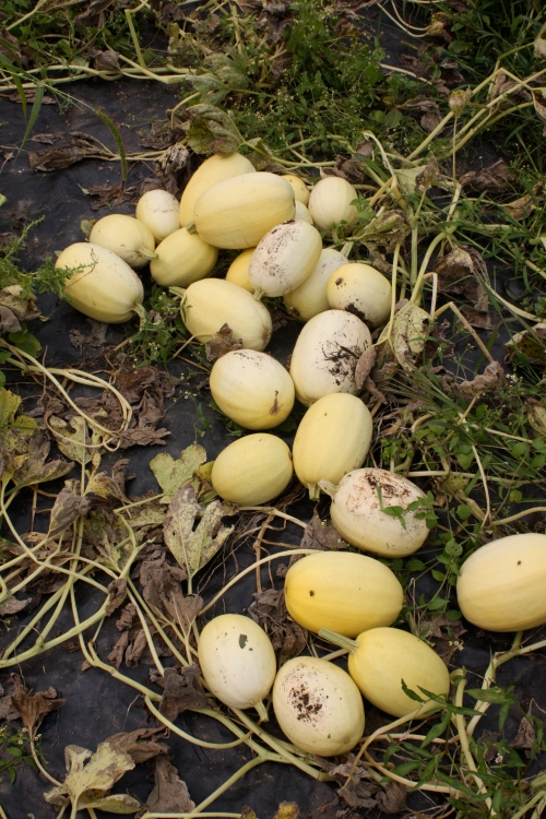 Spaghetti Squash ready to be crated up.