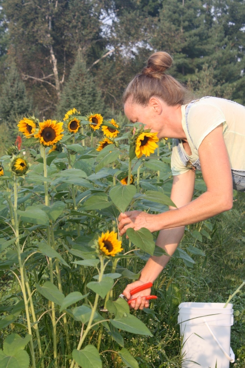 Cutting the sunflowers in the field.