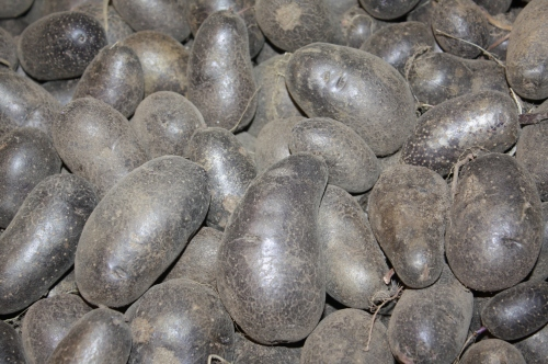 Magic Molly Potatoes fresh from the field.