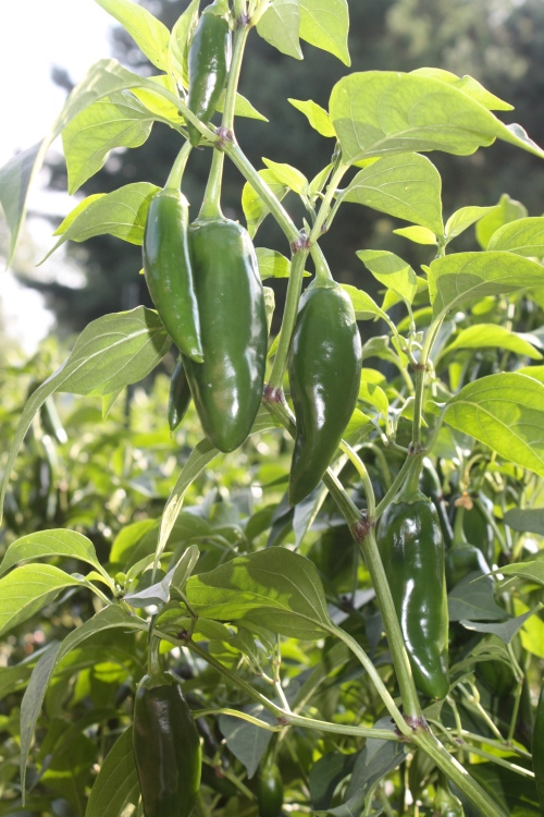 Jalapenos in the garden.