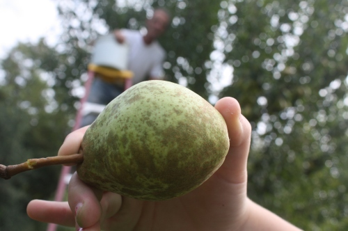 A pear for canning.....