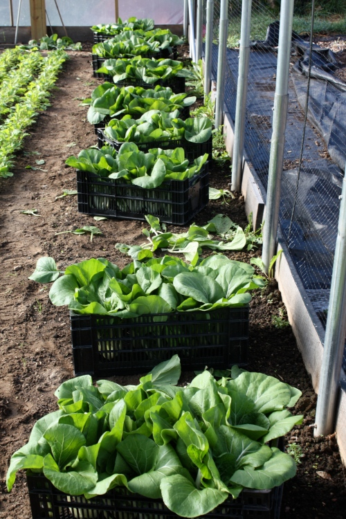 Pac Choi Harvest headed to the washing station.