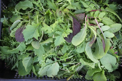 Asian greens picked and ready to be washed.