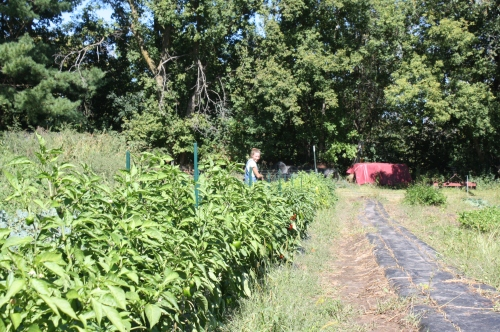 Maeve snuck up and took a picture of me way back in the pepper patch.