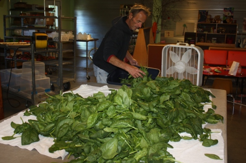 Spinach double rinsed, spun and ready to be bagged for this week's shares.