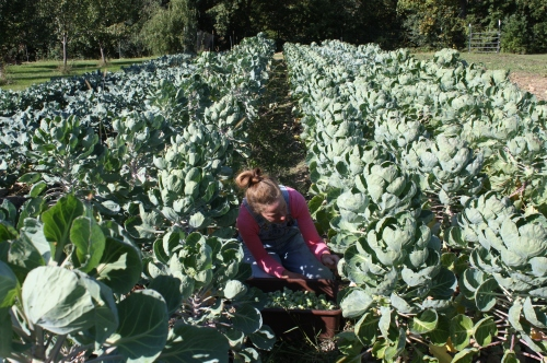 Picking Brusslels Sprouts in the HUGE! patch....