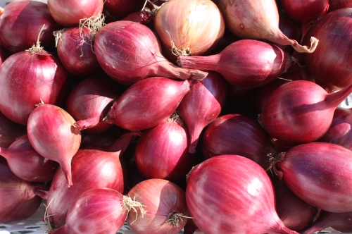 Shallots cured in the greenhouse.