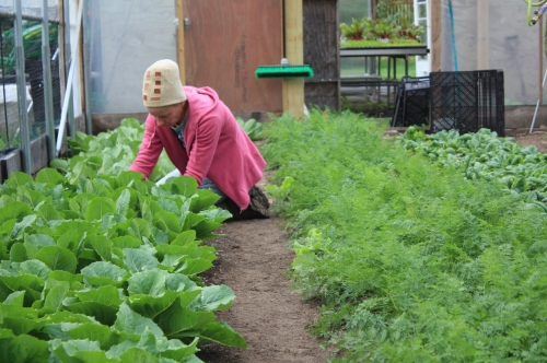 Romaine harvest.
