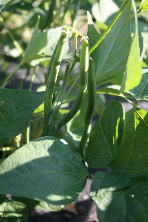 Green beans ready to be picked.....