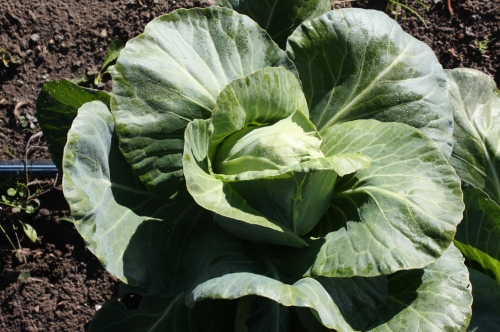 Caraflex Cabbage at harvest.