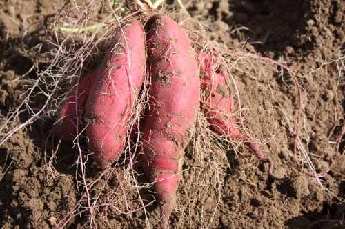 Sweet potatoes in the field.