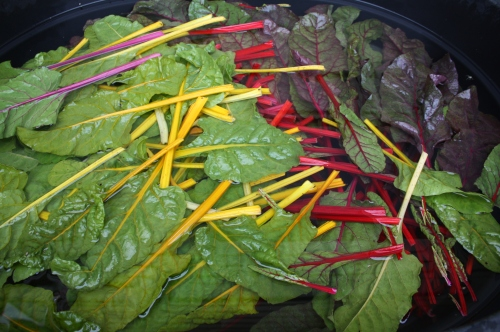 Swiss Chard in the washing tank.