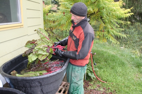 Scott washing the Swiss Chard.