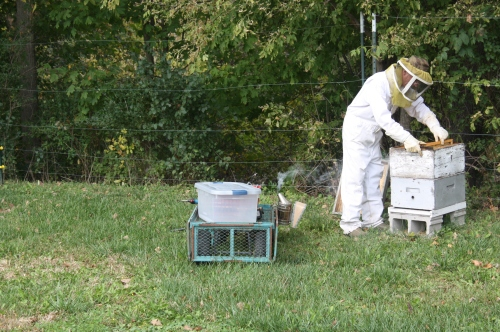 Scott checking the backyard hives.