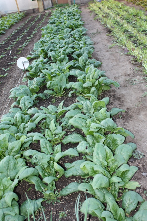 Spinach at harvest.