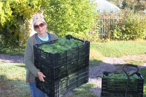 Hauling up the spinach harvest to the washing station.