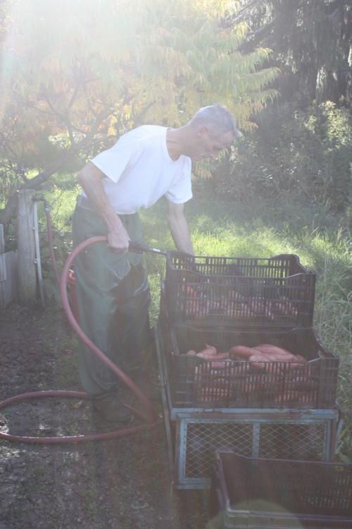 Scott washing the sweet potatoes in the sunshine....
