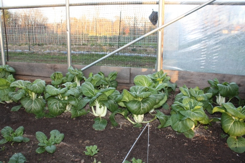 Pac choi in the hoop house.